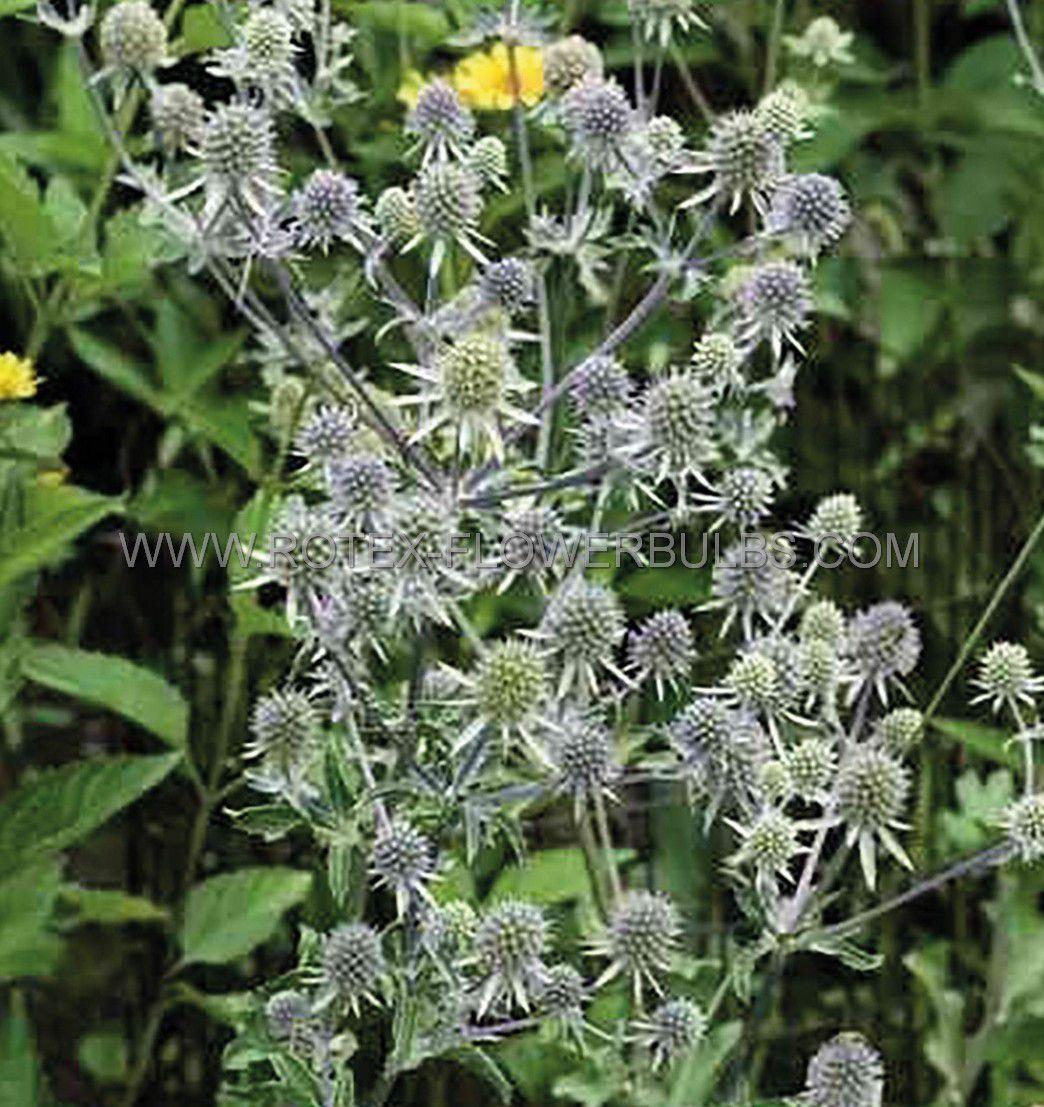 eryngium sea holly planum silver salentino i 25 pbag