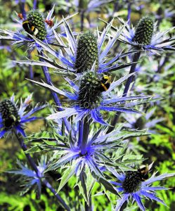 ERYNGIUM (SEA HOLLY) ZABELII 'BIG BLUE' I (25 P.BAG)