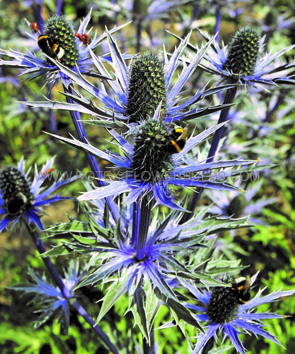 eryngium sea holly zabelii big blue i 25 pbag