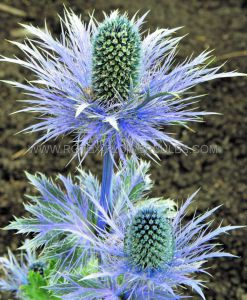 ERYNGIUM (SEA HOLLY) ZABELLII 'DONARD VARIETY' I (25 P.BAG)