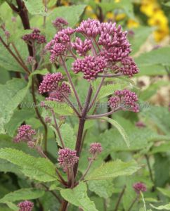 EUPATORIUM (JOE-PYE WEED) MACULATUM 'RED DWARF' I (25 P.BAG)