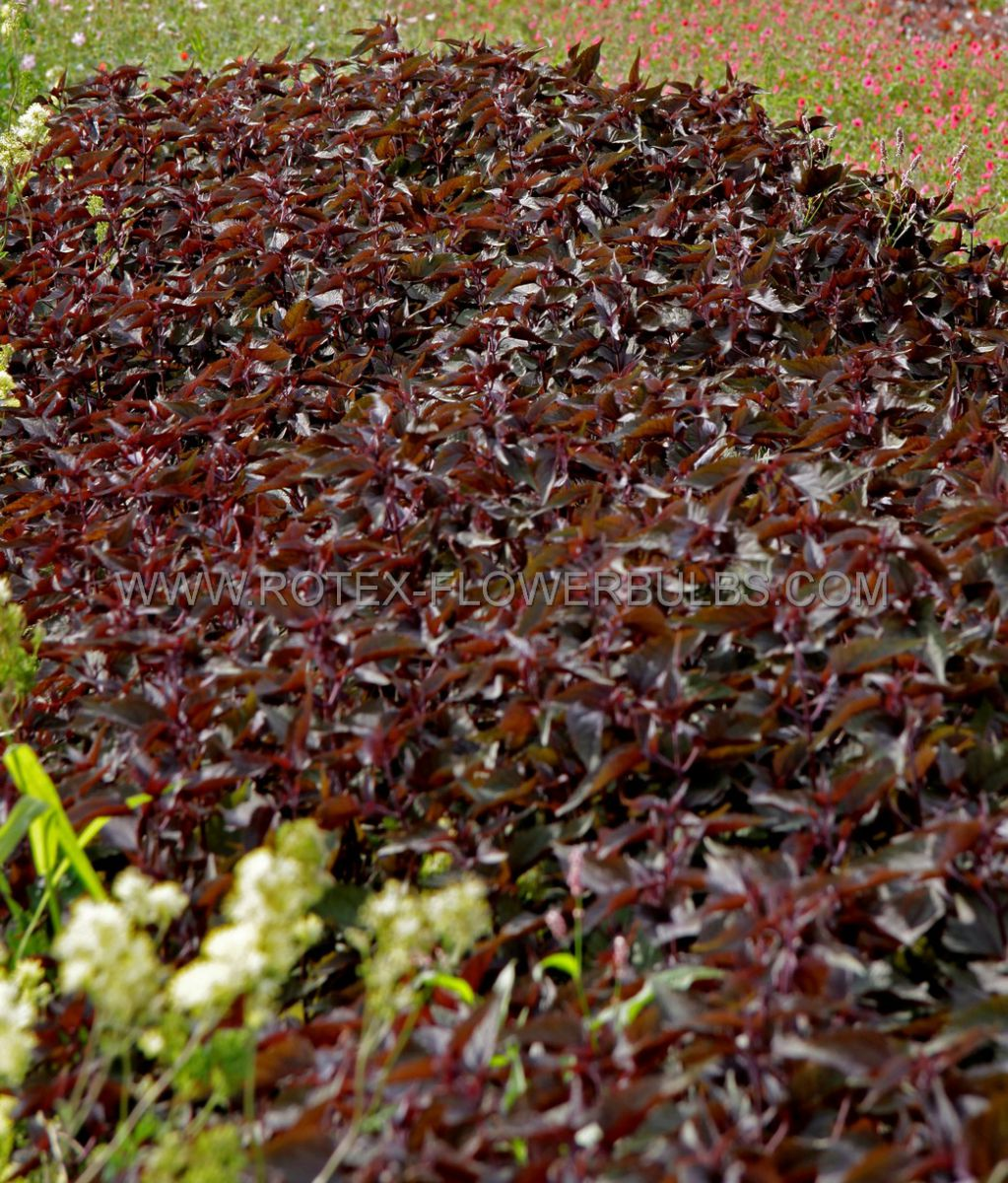 eupatorium joepye weed rugosum chocolate i 25 pbag
