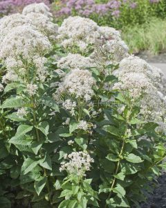 EUPATORIUM (JOE-PYE WEED) RUGOSUM 'SNOWBALL' I (25 P.BAG)