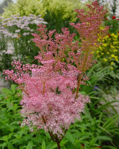 FILIPENDULA (MEADOW SWEET) RUBRA 'VENUSTA MAGNIFICA' I (25 P.BAG)