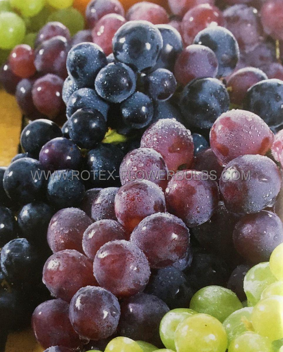 fruit grape assortment 25 pkgsx 1