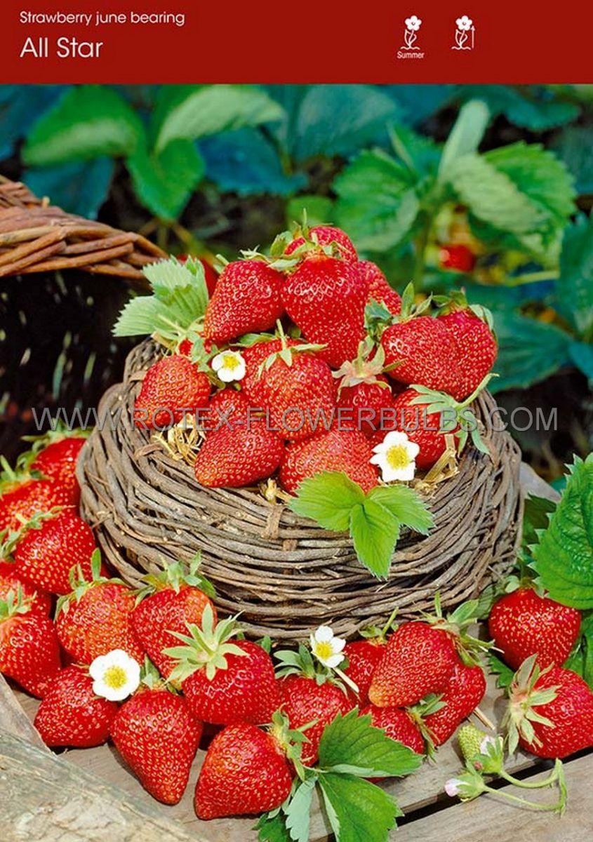 fruit strawberry all star i june bearing 100 popen top box