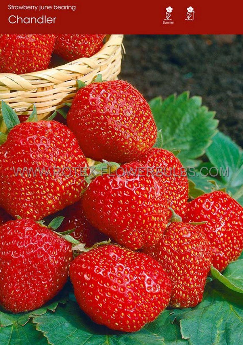 fruit strawberry chandler i june bearing 100 popen top box