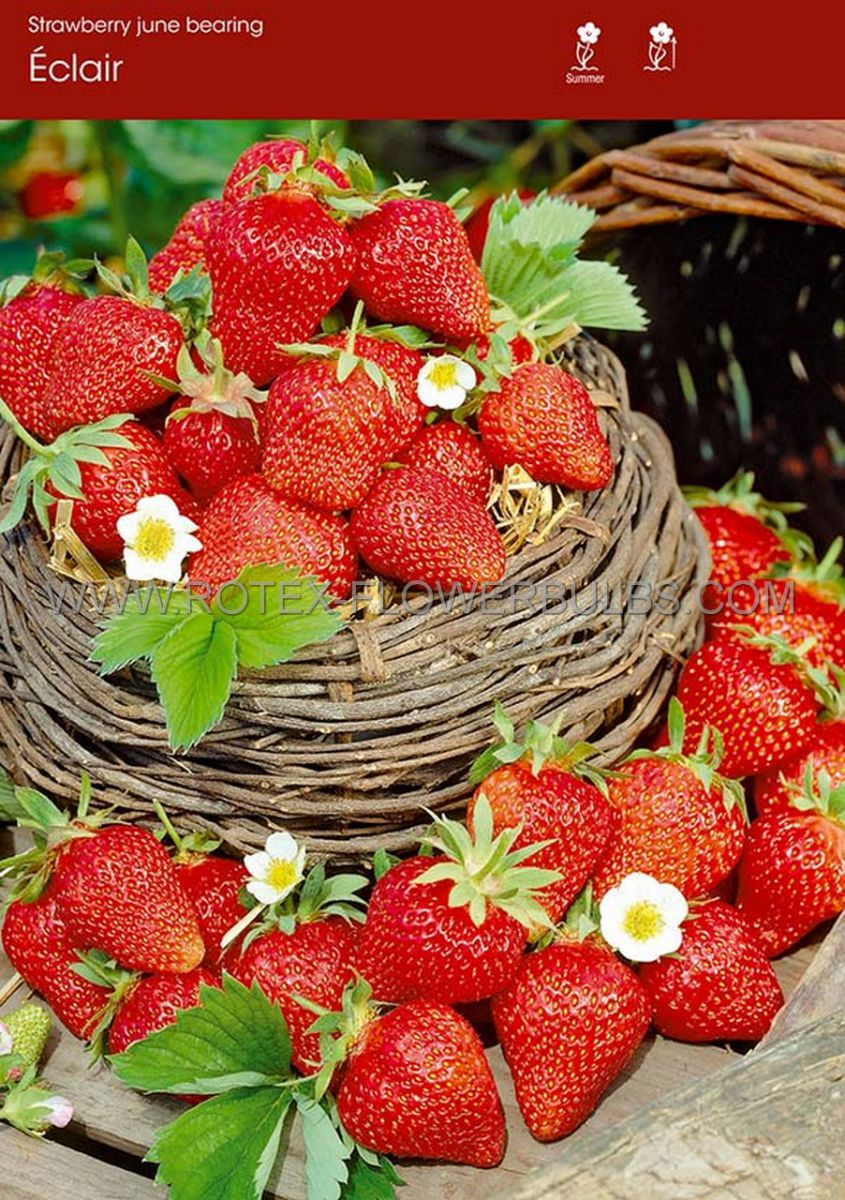 fruit strawberry eclair i june bearing 100 popen top box