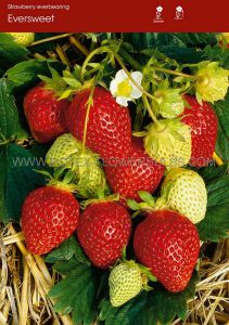FRUIT STRAWBERRY 'EVERSWEET' I - EVER BEARING (100 P.OPEN TOP BOX)