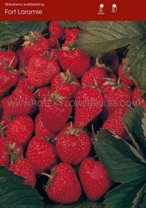 FRUIT STRAWBERRY 'FORT LARAMIE' I - EVER BEARING (100 P.OPEN TOP BOX)