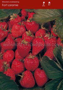 FRUIT STRAWBERRY 'FORT LARAMIE' I - EVER BEARING (100 P.OPEN TOP BOX)