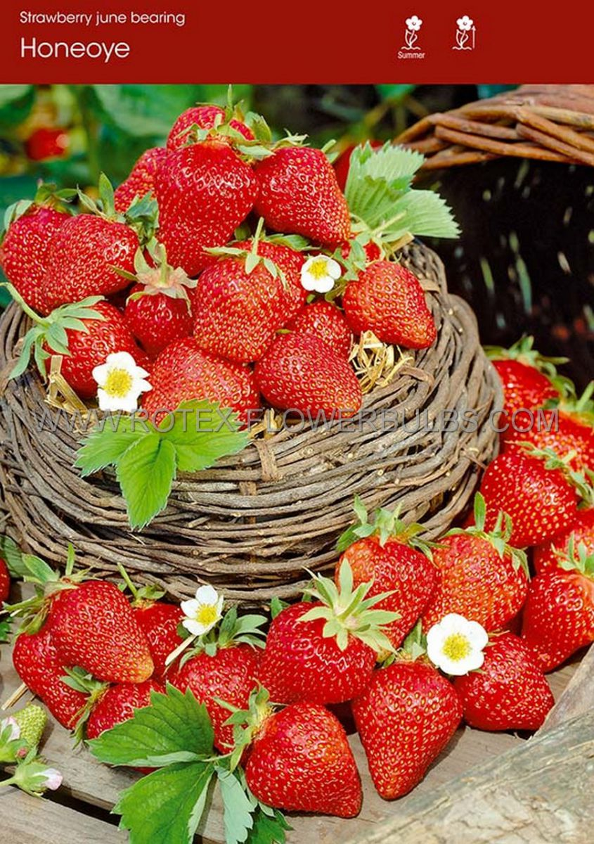 fruit strawberry honeoye i june bearing 100 popen top box