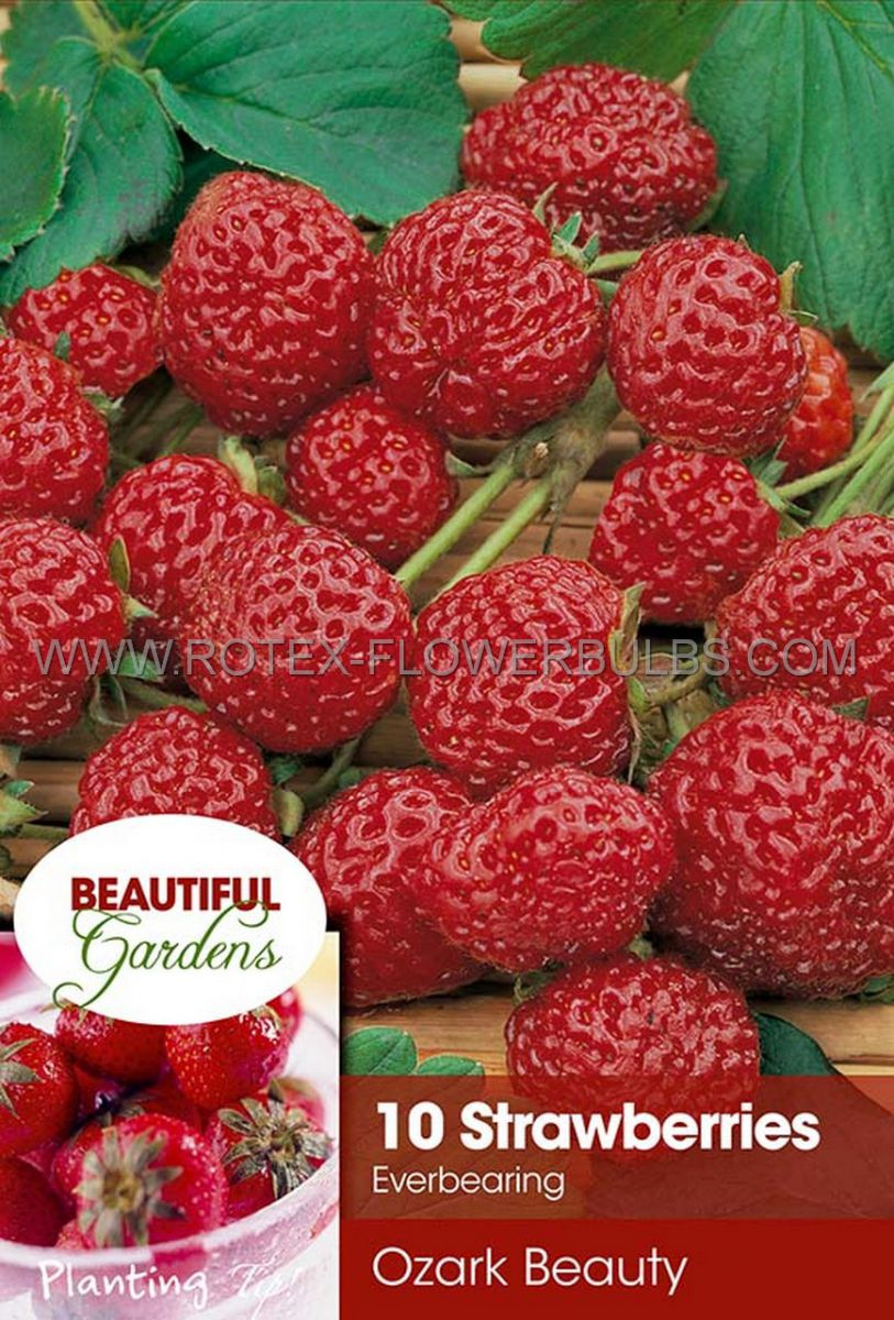 fruit strawberry ozark beauty i ever bearing 10 pkgsx 10