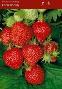 FRUIT STRAWBERRY 'OZARK BEAUTY' I - EVER BEARING (100 P.OPEN TOP BOX)