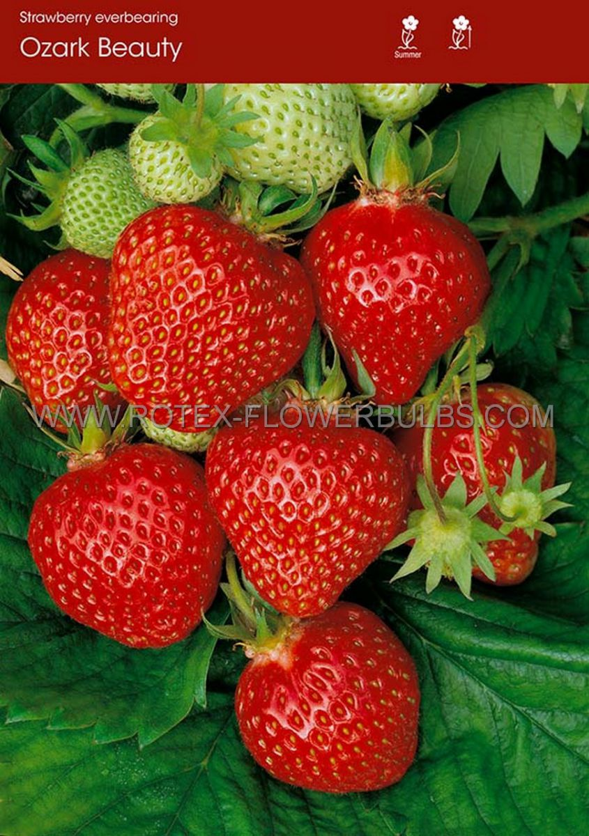 fruit strawberry ozark beauty i ever bearing 100 popen top box