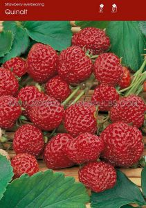 FRUIT STRAWBERRY 'QUINALT' I - EVER BEARING (100 P.OPEN TOP BOX)