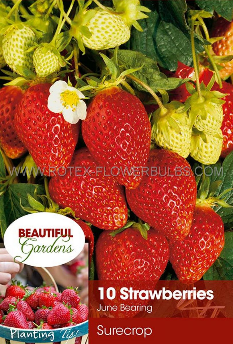 fruit strawberry surecrop i june bearing 10 pkgsx 10
