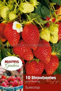 FRUIT STRAWBERRY 'SURECROP' I - JUNE BEARING (10 PKGS.X 10)
