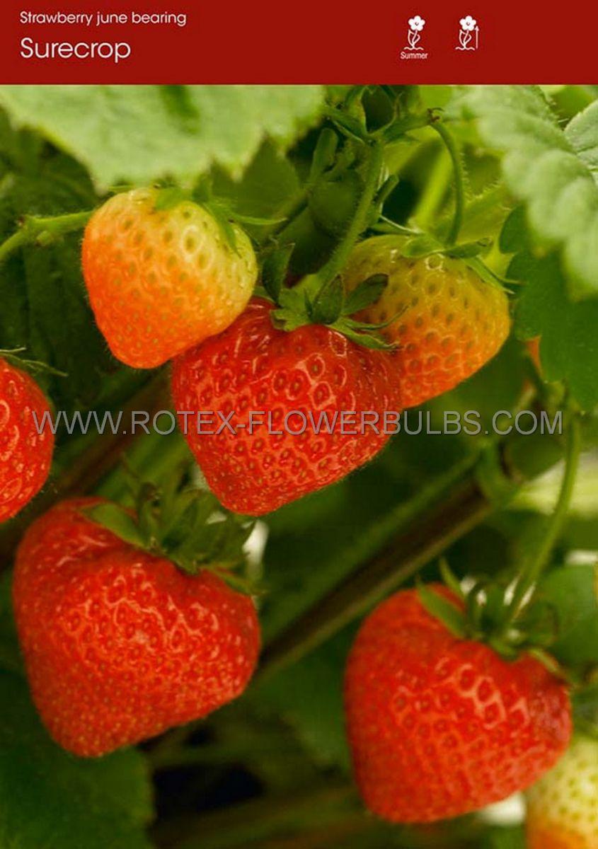 fruit strawberry surecrop i june bearing 100 popen top box