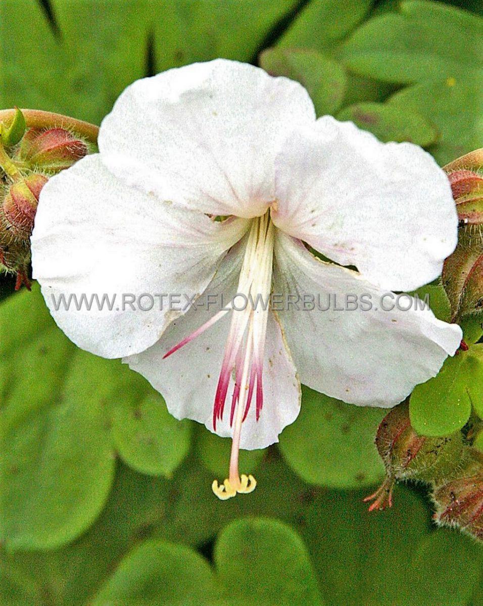 geranium cantabrigiense stola i 25 pbag