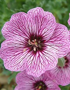 GERANIUM CINEREUM 'LAURENCE FLATMAN' I (25 P.BAG)