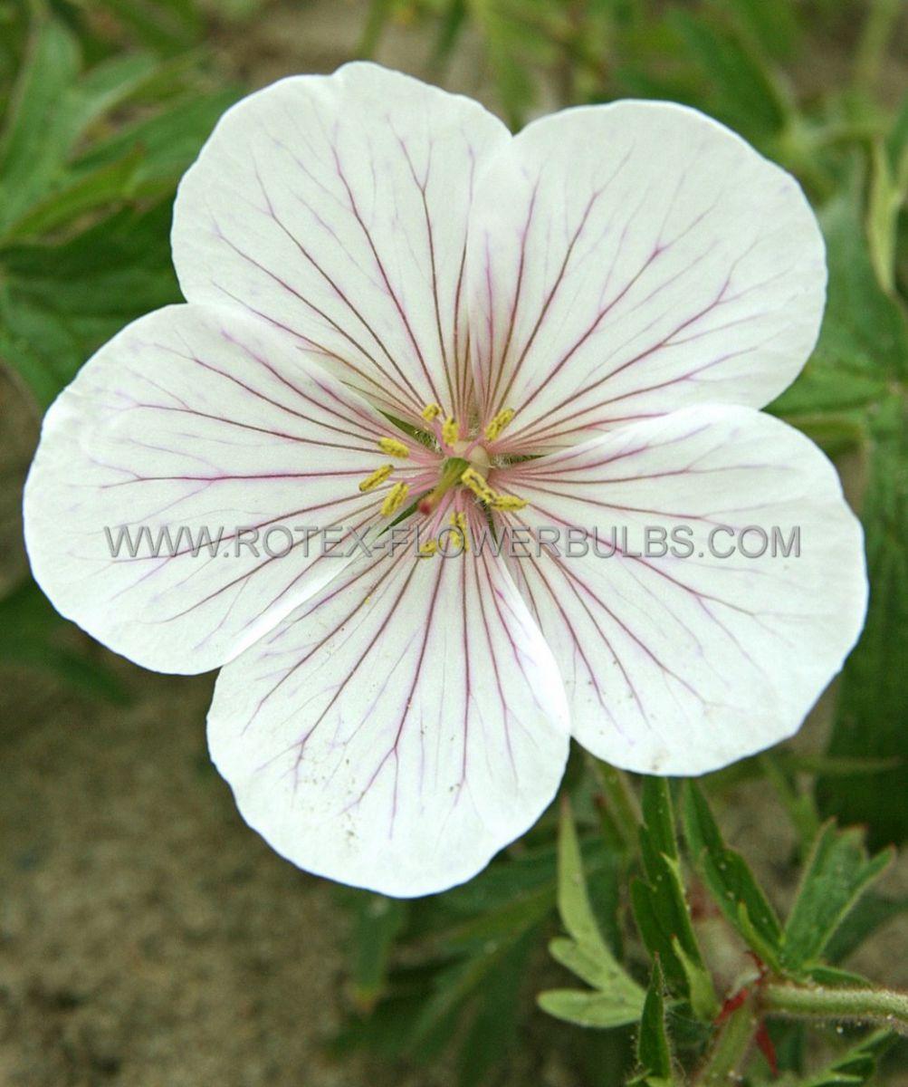 geranium clarkei kashmir white i 25 pbag
