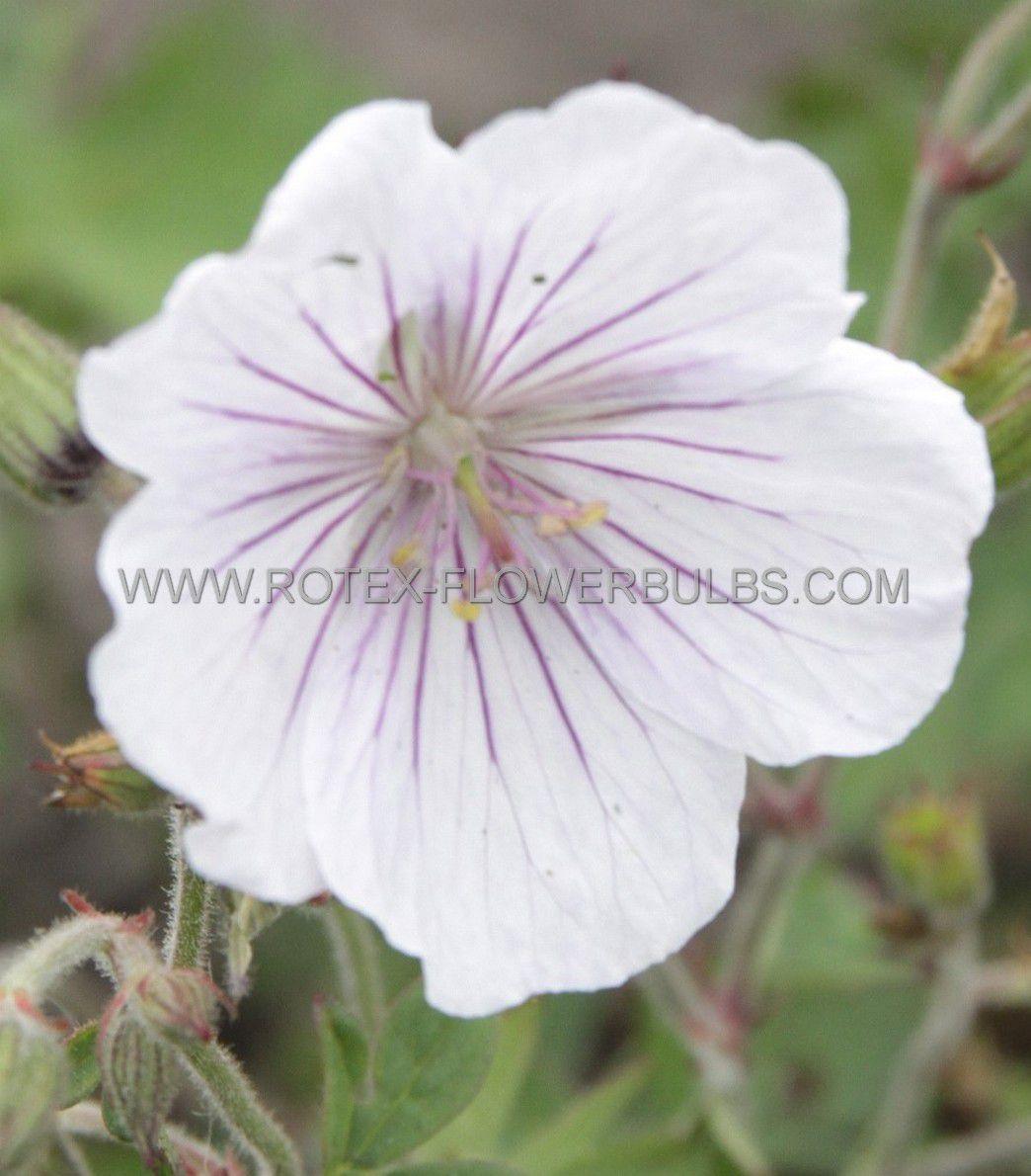 geranium himalayense derrick cook i 25 pbag