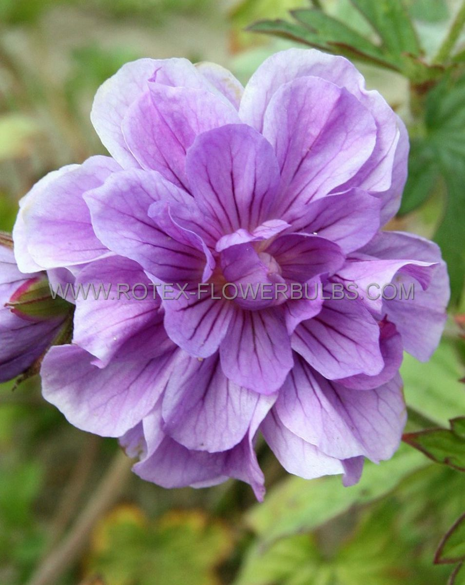 geranium himalayense plenum i 25 pbag