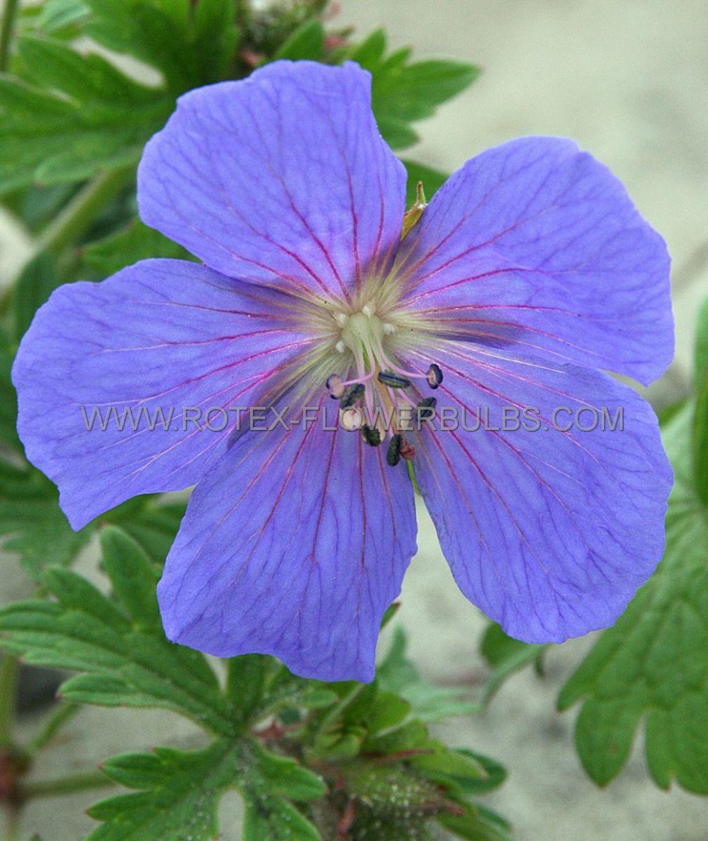 geranium himalayense syn meeboldii i 25 pbag