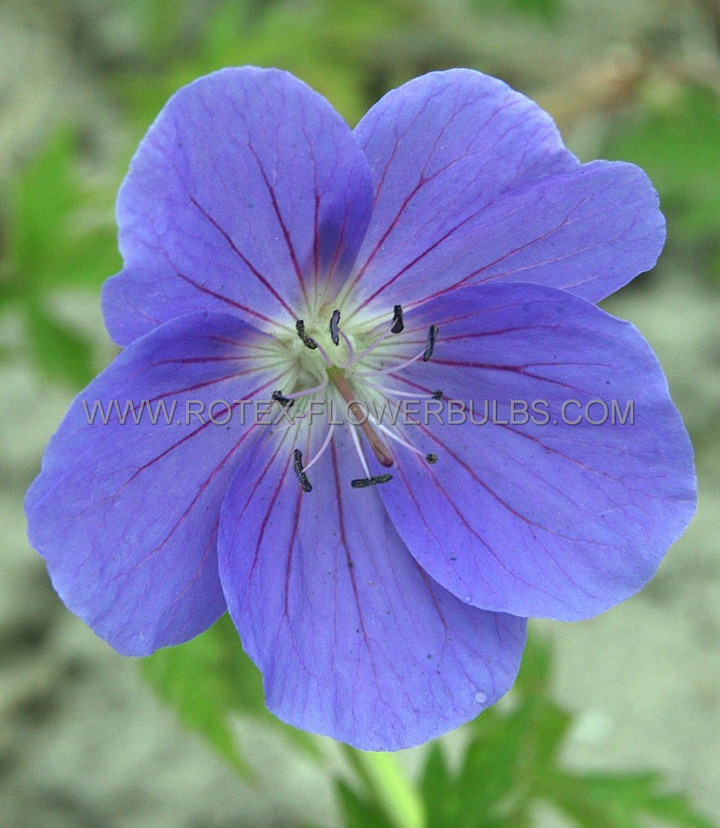geranium hybrida brookside i 25 pbag