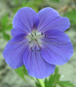 GERANIUM HYBRIDA 'BROOKSIDE' I (25 P.BAG)