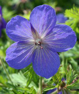 GERANIUM HYBRIDA 'JOHNSON'S BLUE' I (25 P.BAG)