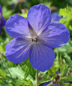GERANIUM HYBRIDA 'JOHNSON'S BLUE' I (25 P.BAG)