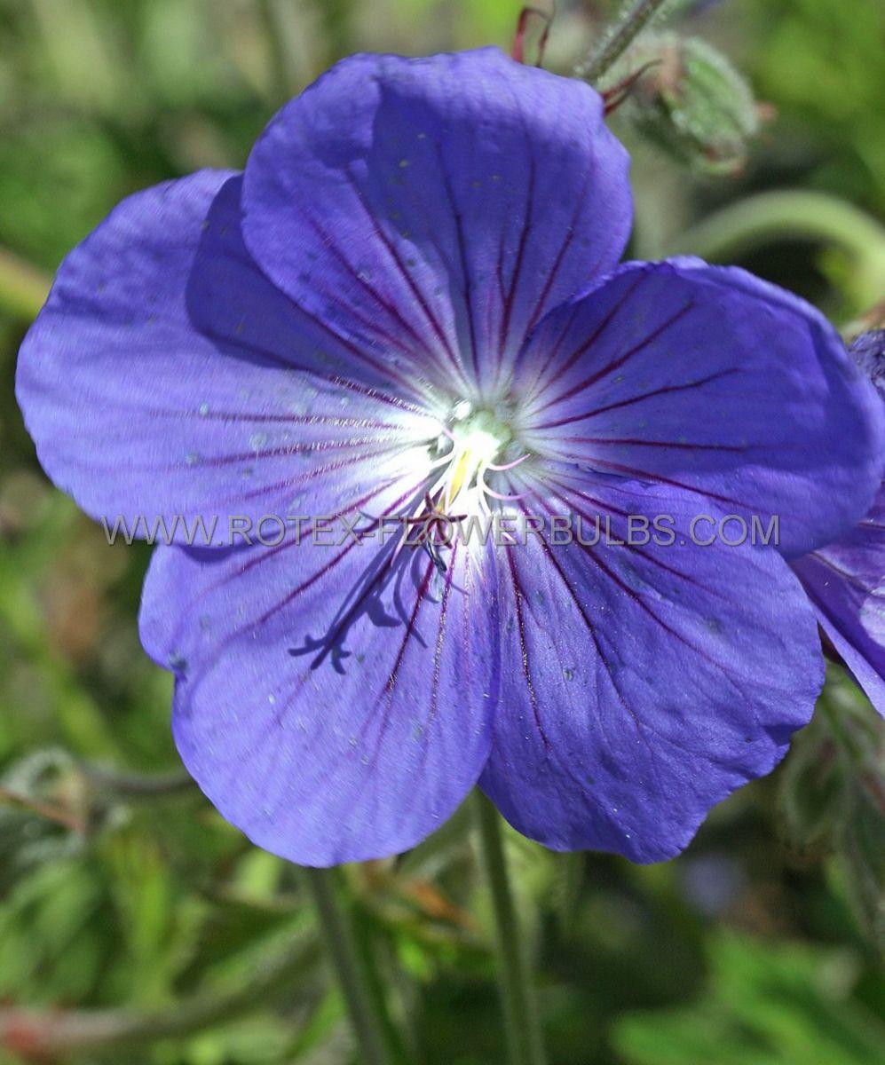geranium hybrida orion i 25 pbag