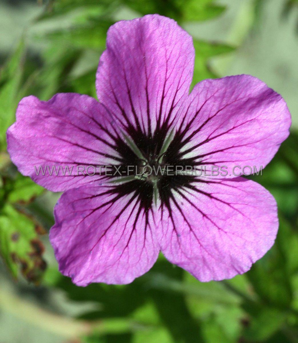 geranium hybrida patricia i 25 pbag