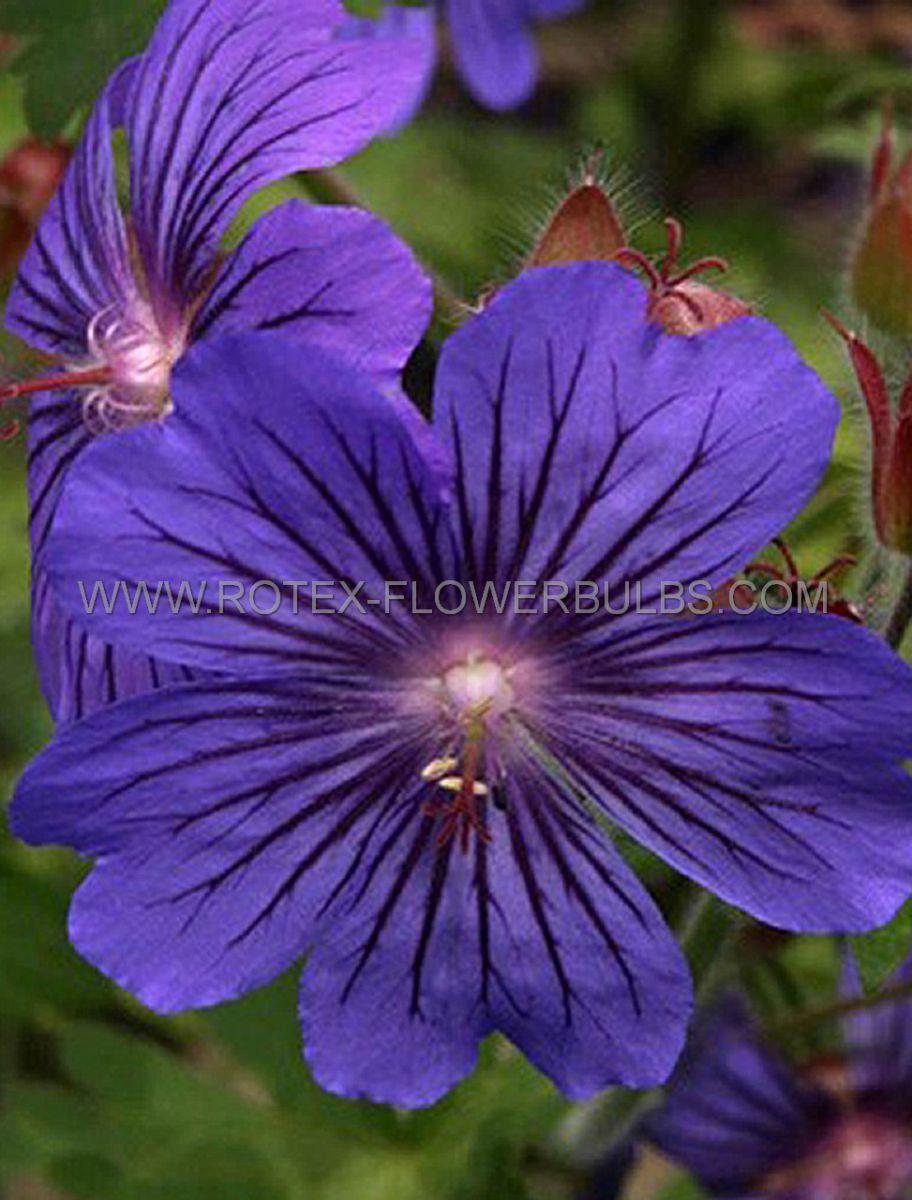geranium hybrida sabani blue i 25 pbag