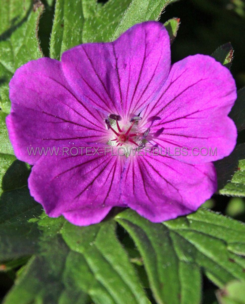 geranium hybrida tiny monster i 25 pbag