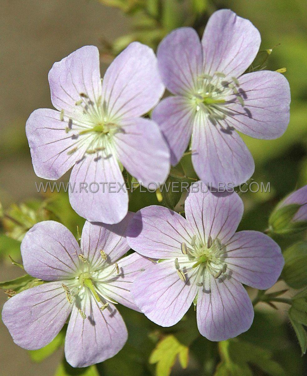 geranium maculatum chatto i 25 pbag
