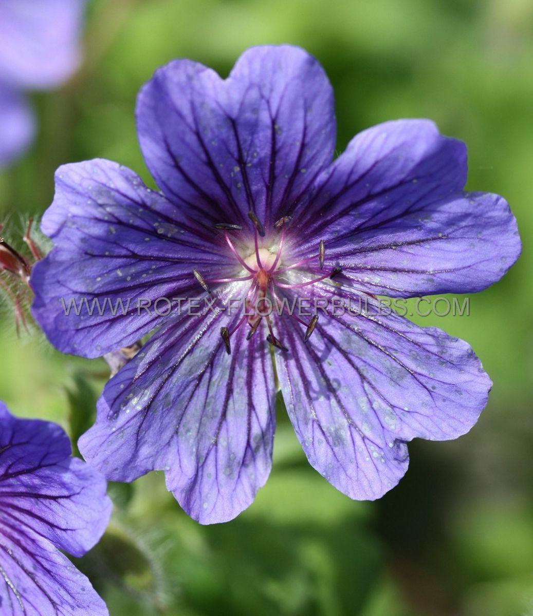 geranium magnificum syn platypetalum i 25 pbag
