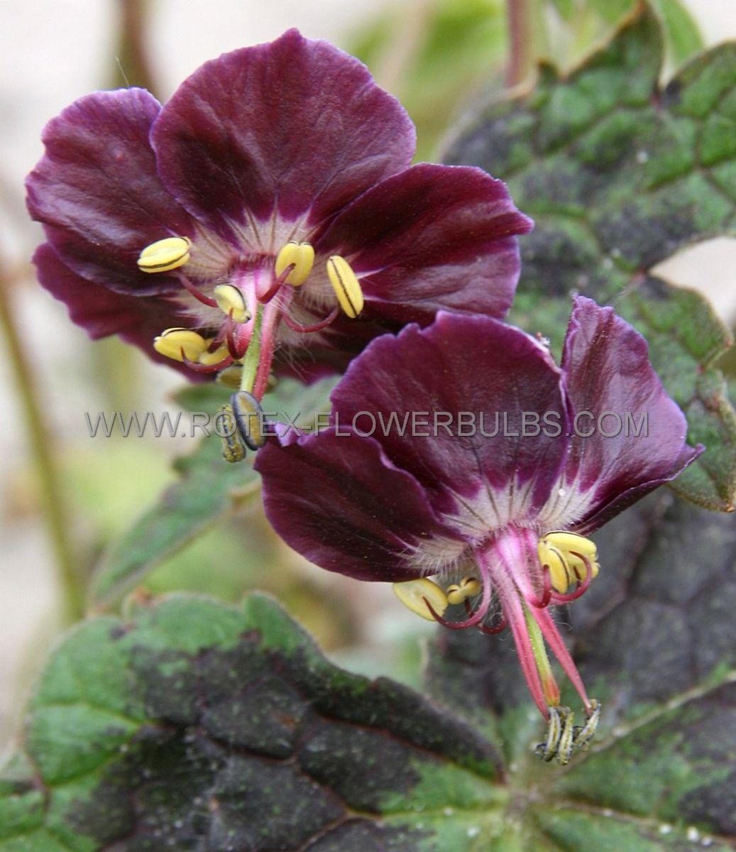 geranium phaeum samobor i 25 pbag