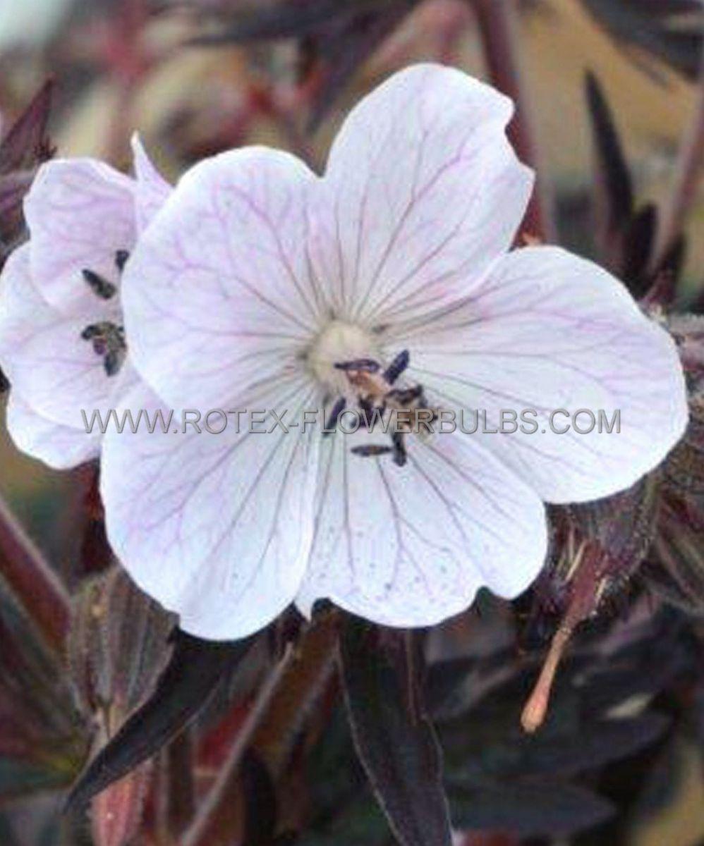 geranium pratense midnight ghost i 25 pbag