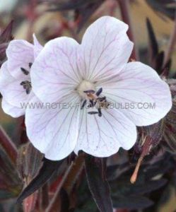 GERANIUM PRATENSE 'MIDNIGHT GHOST' I (25 P.BAG)