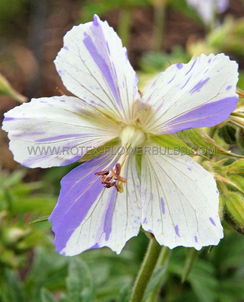 geranium pratense splishsplash i 25 pbag