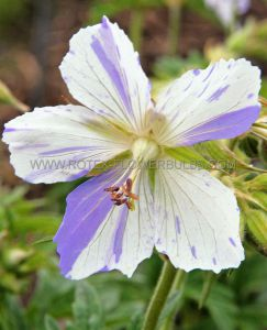 GERANIUM PRATENSE 'SPLISH-SPLASH' I (25 P.BAG)