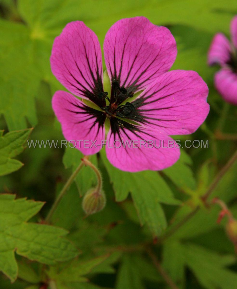 geranium psilostemon i 25 pbag