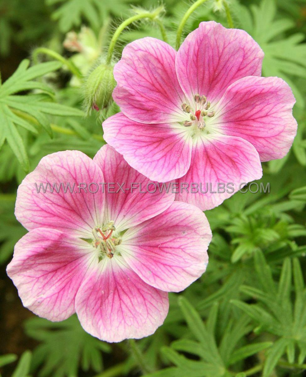 geranium sanguineum elke i 25 pbag