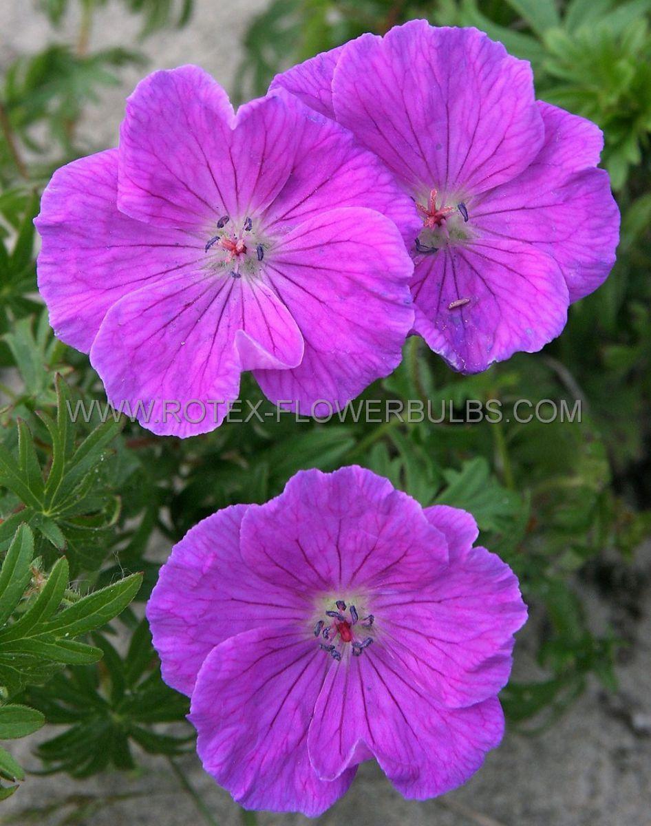geranium sanguineum i 25 pbag
