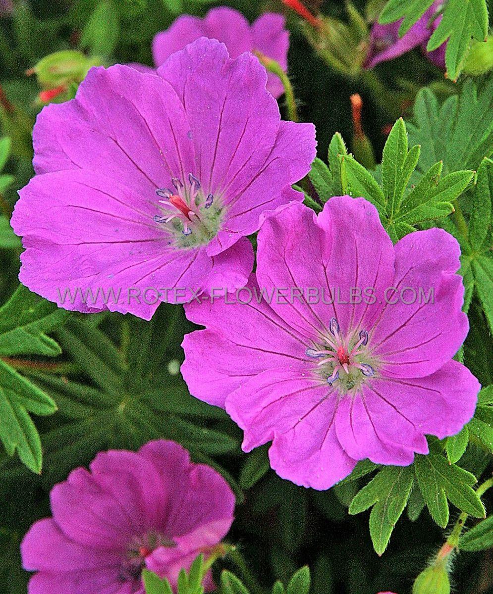 geranium sanguineum max frei i 25 pbag