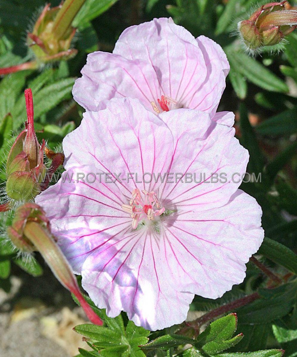 geranium sanguineum var striatum i 25 pbag