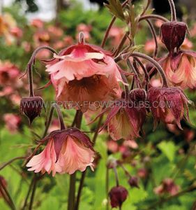 GEUM (CHOCOLATE ROOT) CENSATION 'APRICOT PEARL' I (25 P.BAG)
